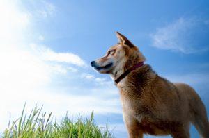 犬、柴犬、縄文犬、縄文柴犬