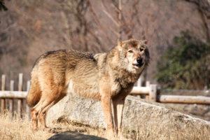 オオカミ、狼