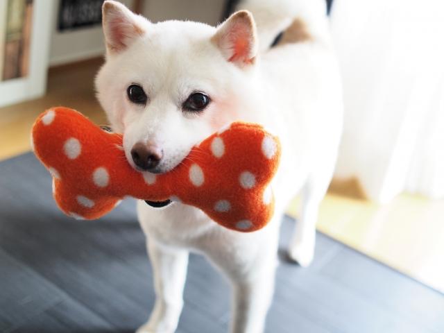 犬、おもちゃ