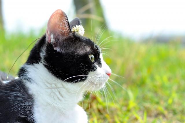 猫、ミックス、混合種、雑種猫