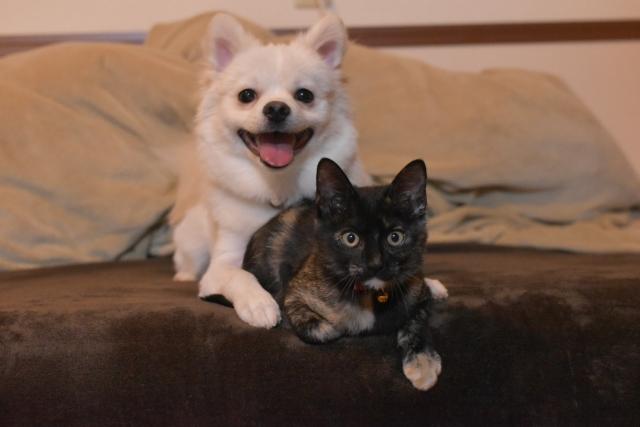 犬、猫、チワワ、小型犬