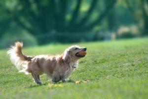 犬、大型犬、ゴールデンレトリーバー