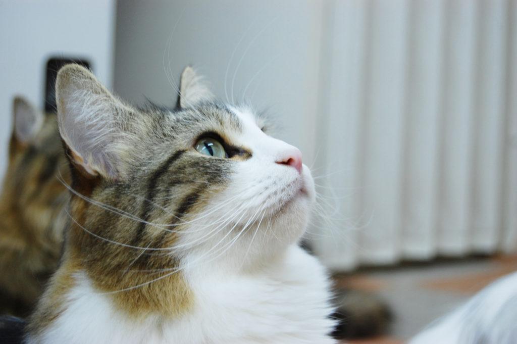 猫、長毛猫
