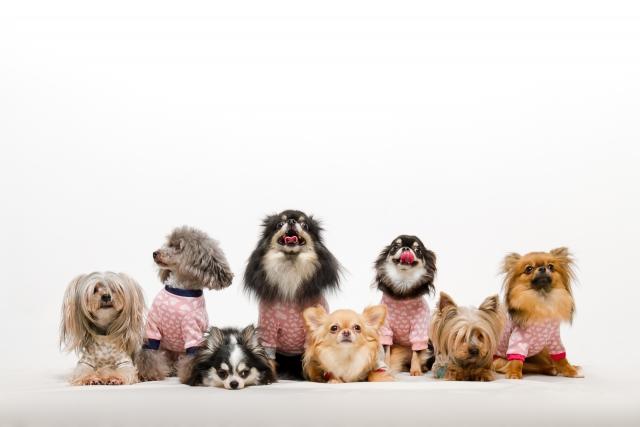 チワワ、ポメラニアン、ヨークシャーテリア、小型犬