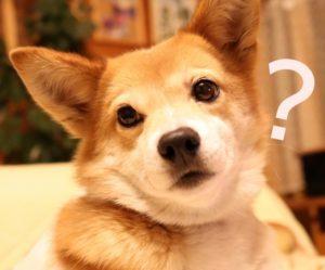 犬、悩む犬、雑種、柴犬、コーギー