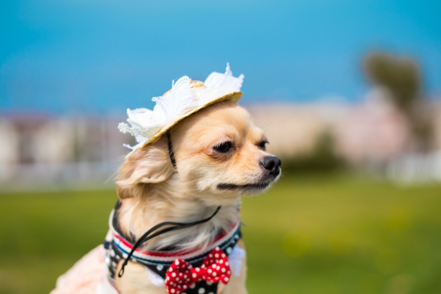 チワワ、ダックスフンド、チワックス、小型犬、犬