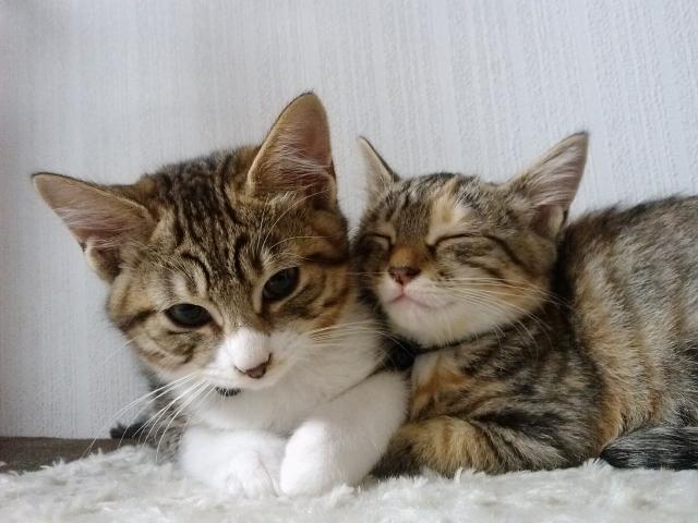 猫、同居猫、雑種