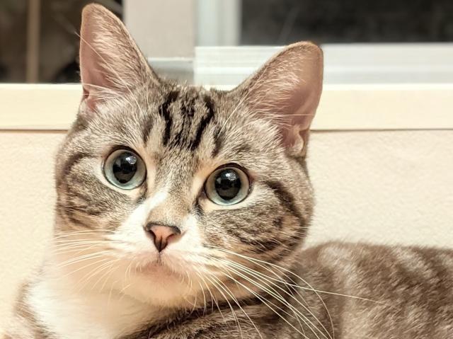 猫、アメリカンショートヘア