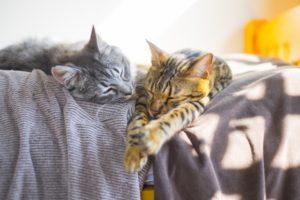 猫、ベンガル、子猫