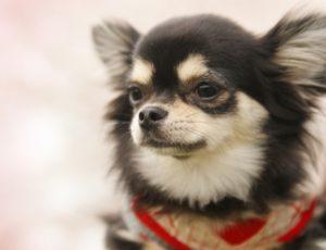 チワワ、小型犬