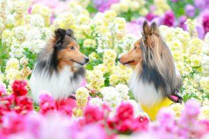 犬、中型犬、シェルティー、花