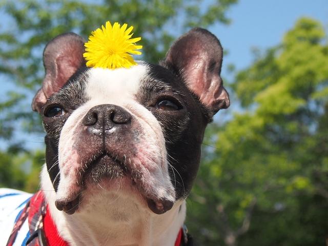 犬、フレンチブルドッグ、ボストンテリア