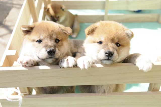 柴犬、子犬、小型犬、マメシバ