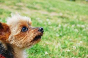 ヨークシャテリア、小型犬、犬