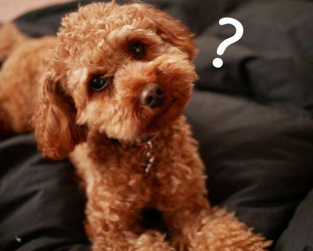 トイプードル、小型犬
