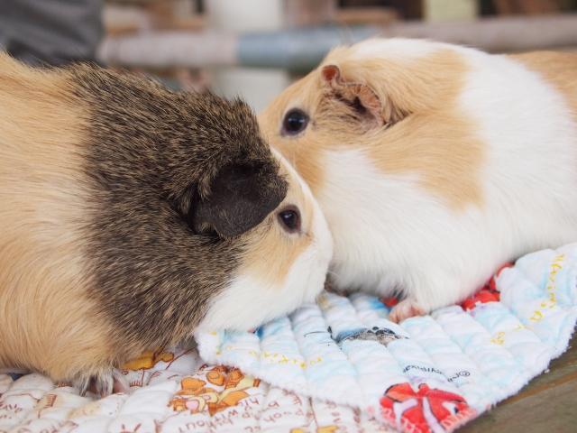 モルモット、小動物保険、小動物