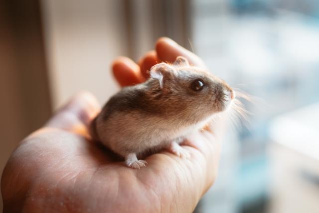ハムスター、小動物、小動物保険