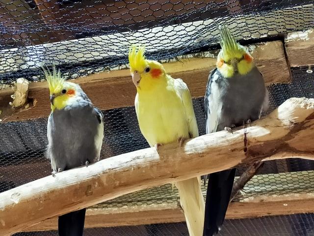 インコ、小鳥、鳥