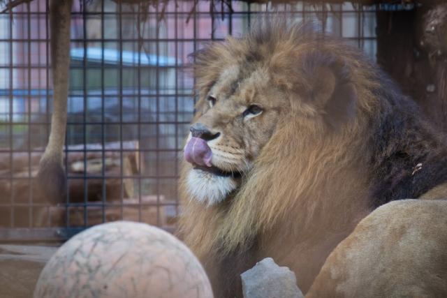 ライオン、動物園