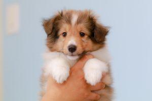 ジャックラッセルテリア、犬、中型犬、子犬