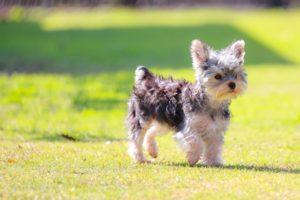 子犬、ヨークシャーテリア
