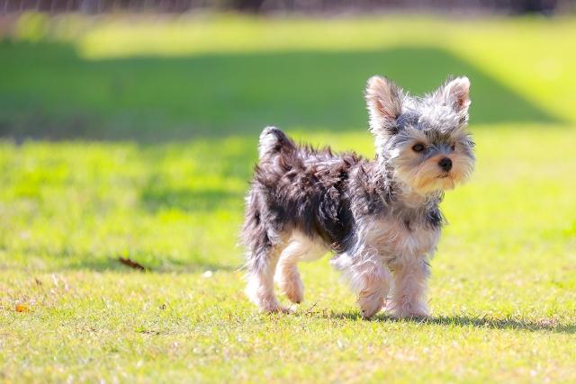 子犬、ヨークシャーテリア、小型犬