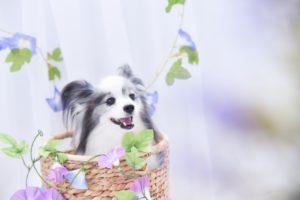 パピヨン、小型犬、犬