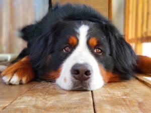 バーニーズマウンテン、犬、大型犬
