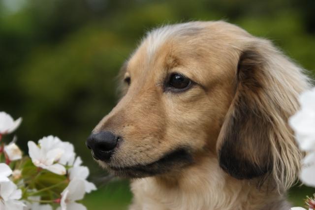 ミニチュアダックスフンド、犬、小型犬