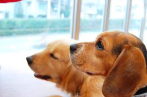 ビーグル、ゴールデンレトリバー、中型犬、大型犬、犬