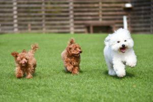 犬、トイプードル、小型犬