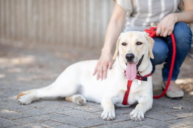 ラブラドールレトリバー、犬、大型犬