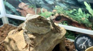 爬虫類、フトアゴヒゲトカゲ