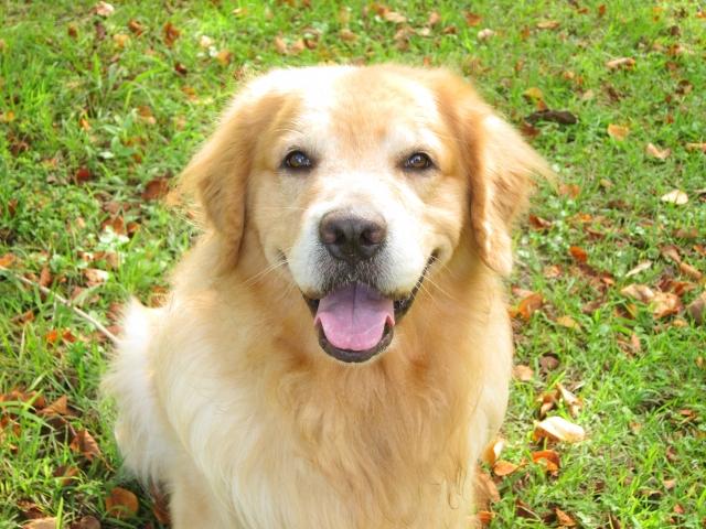 ゴールデンレトリバー、犬、大型犬