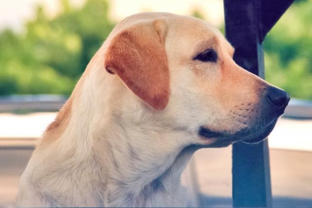 ラブラドールレトリバー、大型犬、犬