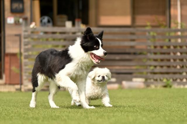 ボーダーコリー、ペキニーズ、大型犬、中型犬、小型犬、犬