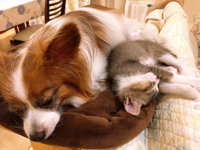 猫、犬、パピヨン、小型犬