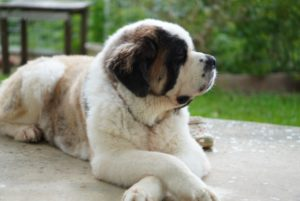 大型犬、セントバーナード、犬