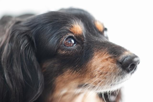 ダックスフンド、ポメラニアン、ミックス犬