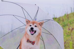 柴犬、雨、犬、中型犬