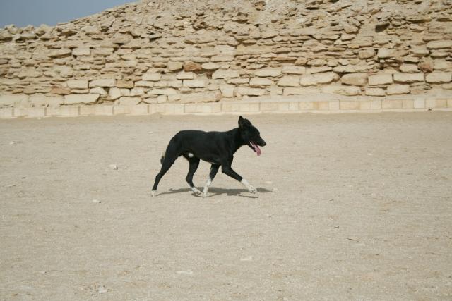 エジプト、犬、中型犬