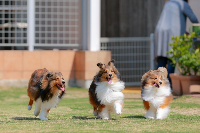 犬、中型犬、シェルティ