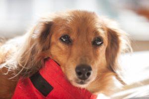 ダックスフンド、ミニチュアダックスフンド、小型犬、犬