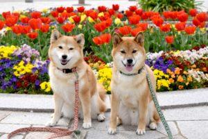 犬、柴犬、中型犬