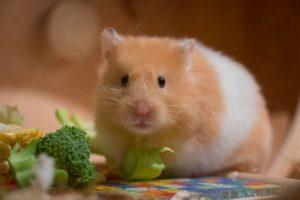 ハムスター、小動物