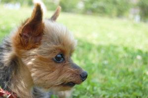 ヨークシャテリア、犬、小型犬