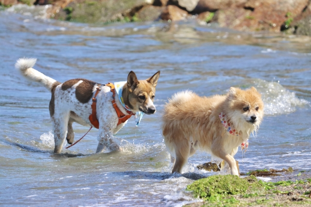 犬、ポメラニアン、小型犬