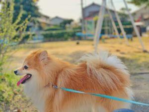 ポメラニアン、犬、小型犬