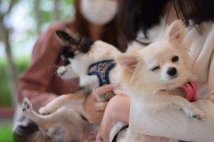 チワワ、小型犬、犬